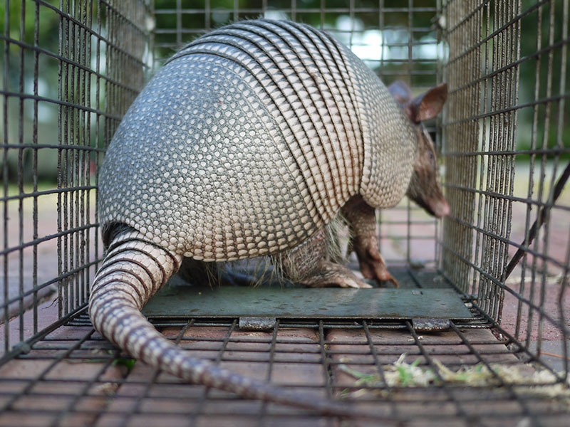 Can Dogs Get Leprosy From Armadillos